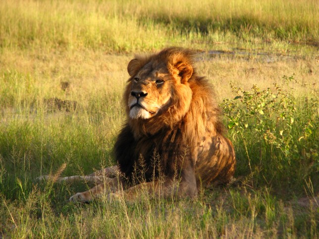 Source: wikipedia - Cecil Hwange National Park, Zimbabwe 2010